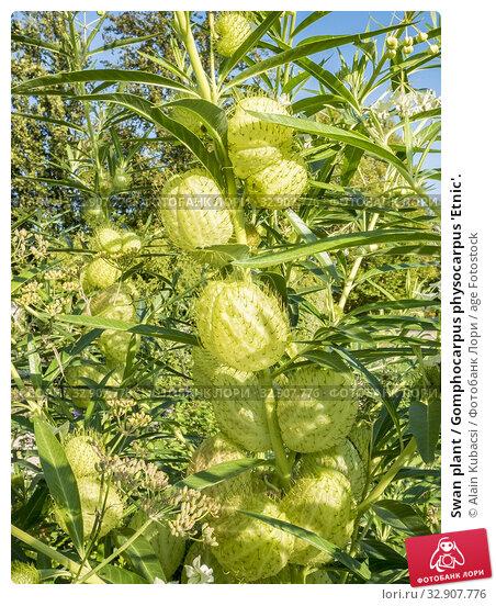 Swan plant / Gomphocarpus physocarpus 'Etnic'. Стоковое фото, фотограф Alain Kubacsi / age Fotostock / Фотобанк Лори