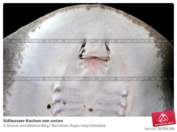 Süßwasser-Rochen von unten. Стоковое фото, фотограф Zoonar.com/Martina Berg / easy Fotostock / Фотобанк Лори