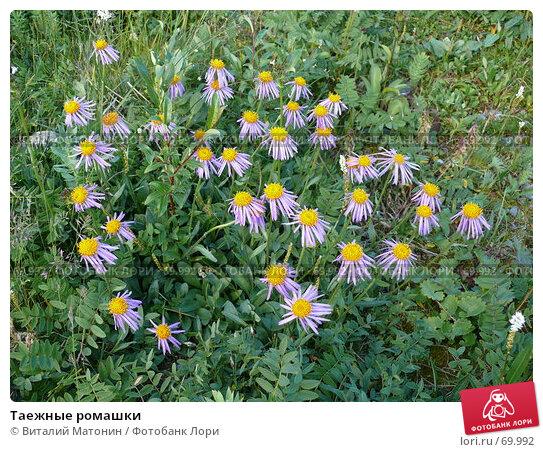 Таежные ромашки, фото № 69992, снято 22 июля 2007 г. (c) Виталий Матонин / Фотобанк Лори