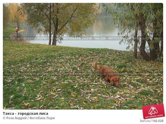 Купить «Такса -  городская лиса», фото № 166028, снято 27 октября 2007 г. (c) Розе Андрей / Фотобанк Лори