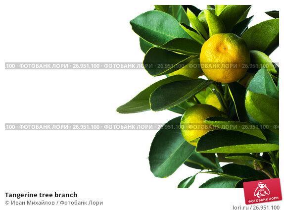 Купить «Tangerine tree branch», фото № 26951100, снято 15 января 2017 г. (c) Иван Михайлов / Фотобанк Лори