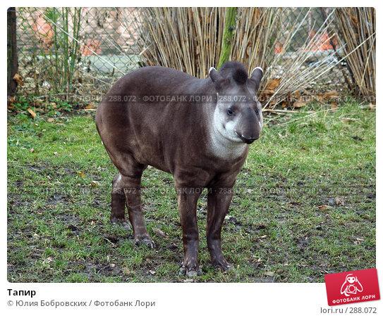 Купить «Тапир», фото № 288072, снято 20 января 2008 г. (c) Юлия Бобровских / Фотобанк Лори