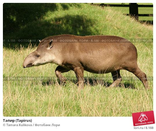 Тапир (Tapirus), фото № 8188, снято 28 августа 2006 г. (c) Tamara Kulikova / Фотобанк Лори