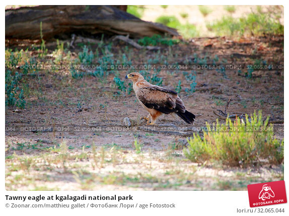 Tawny eagle at kgalagadi national park. Стоковое фото, фотограф Zoonar.com/matthieu gallet / age Fotostock / Фотобанк Лори