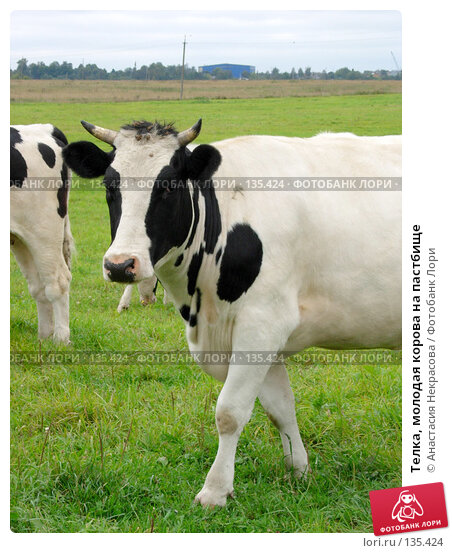 Телка, молодая корова на пастбище, фото № 135424, снято 3 сентября 2005 г. (c) Анастасия Некрасова / Фотобанк Лори