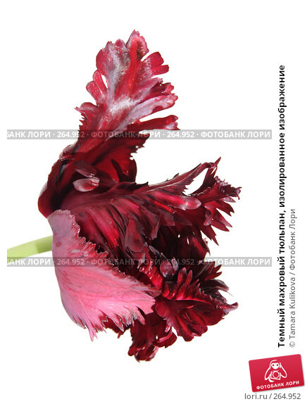 Темный махровый тюльпан, изолированное изображение, фото № 264952, снято 28 апреля 2008 г. (c) Tamara Kulikova / Фотобанк Лори