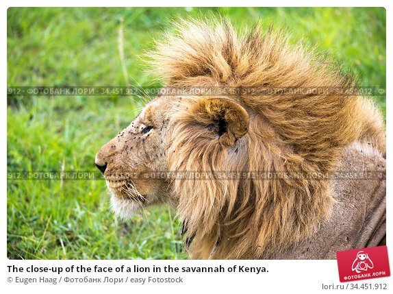 The close-up of the face of a lion in the savannah of Kenya. Стоковое фото, фотограф Eugen Haag / easy Fotostock / Фотобанк Лори