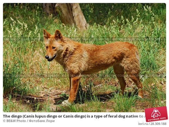 Купить «The dingo (Canis lupus dingo or Canis dingo) is a type of feral dog native to Australia», фото № 28309188, снято 20 апреля 2019 г. (c) BE&W Photo / Фотобанк Лори