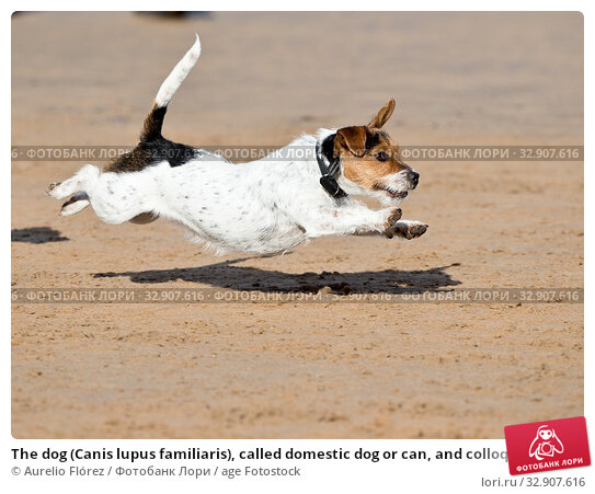 The dog (Canis lupus familiaris), called domestic dog or can, and colloquially pooch or tuso, and also choco, is a carnivorous mammal of the family of... Стоковое фото, фотограф Aurelio Flórez / age Fotostock / Фотобанк Лори