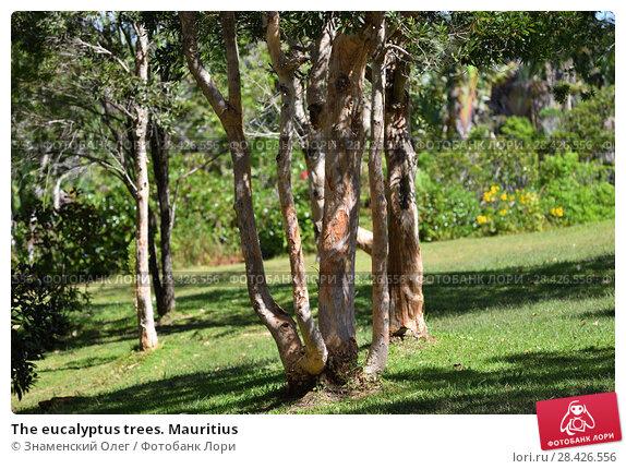 Купить «The eucalyptus trees. Mauritius», фото № 28426556, снято 29 апреля 2013 г. (c) Знаменский Олег / Фотобанк Лори