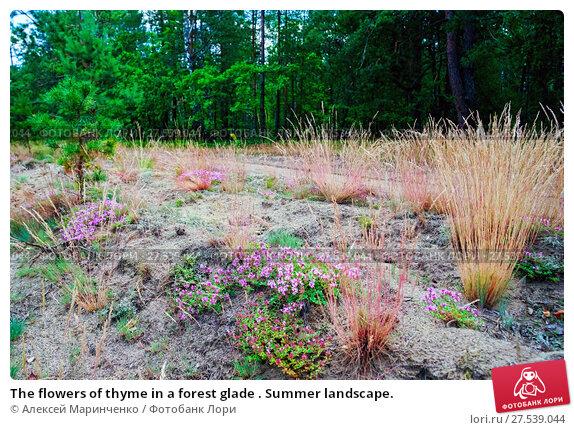 Купить «The flowers of thyme in a forest glade . Summer landscape.», фото № 27539044, снято 23 июля 2017 г. (c) Алексей Маринченко / Фотобанк Лори