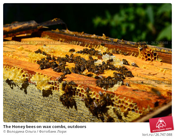Купить «The Honey bees on wax combs, outdoors», фото № 26747088, снято 7 августа 2017 г. (c) Володина Ольга / Фотобанк Лори