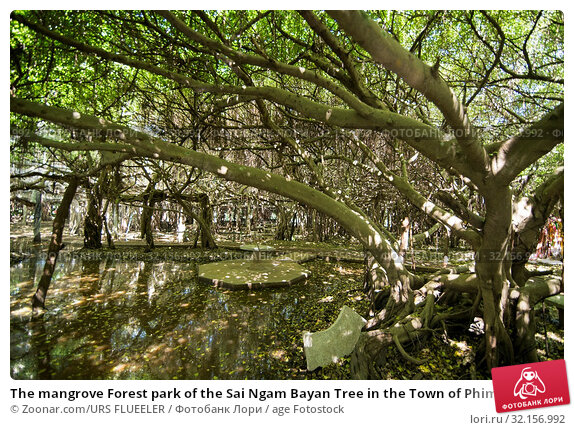 The mangrove Forest park of the Sai Ngam Bayan Tree in the Town of Phimai in the Provinz Nakhon Ratchasima in Isan in Thailand. Thailand, Phimai, November, 2017. Стоковое фото, фотограф Zoonar.com/URS FLUEELER / age Fotostock / Фотобанк Лори