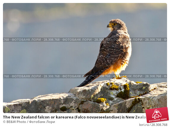 Купить «The New Zealand falcon or karearea (Falco novaeseelandiae) is New Zealand's only falcon and the only remaining diurnal bird of prey endemic to New Zealand», фото № 28308768, снято 20 февраля 2019 г. (c) BE&W Photo / Фотобанк Лори