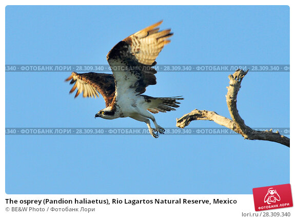 Купить «The osprey (Pandion haliaetus), Rio Lagartos Natural Reserve, Mexico», фото № 28309340, снято 25 января 2020 г. (c) BE&W Photo / Фотобанк Лори