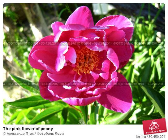 The pink flower of peony. Стоковое фото, фотограф Александр Птах / Фотобанк Лори