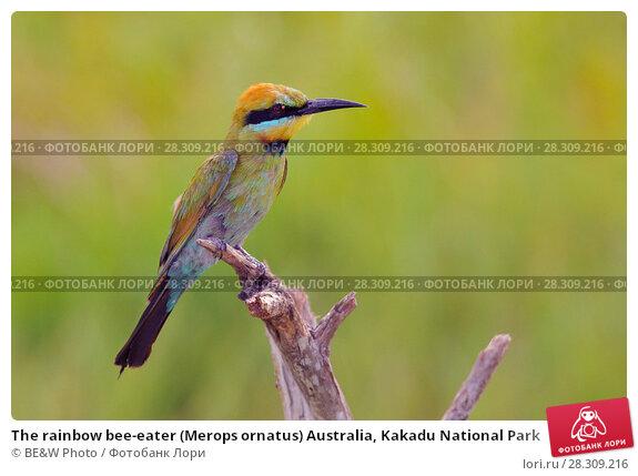 Купить «The rainbow bee-eater (Merops ornatus) Australia, Kakadu National Park», фото № 28309216, снято 19 февраля 2020 г. (c) BE&W Photo / Фотобанк Лори