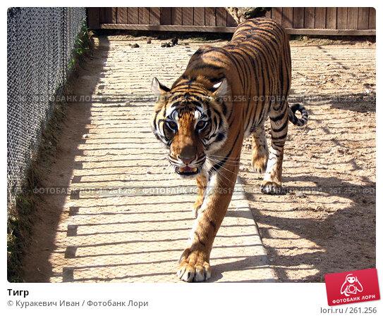 Купить «Тигр», фото № 261256, снято 12 сентября 2006 г. (c) Куракевич Иван / Фотобанк Лори