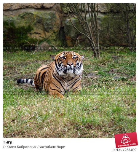 Купить «Тигр», фото № 288092, снято 20 января 2008 г. (c) Юлия Бобровских / Фотобанк Лори