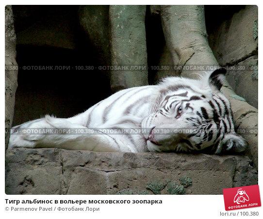 Купить «Тигр альбинос в вольере московского зоопарка», фото № 100380, снято 9 марта 2007 г. (c) Parmenov Pavel / Фотобанк Лори