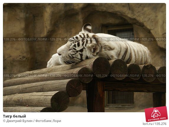 Тигр белый, фото № 135276, снято 4 июля 2006 г. (c) Дмитрий Булин / Фотобанк Лори