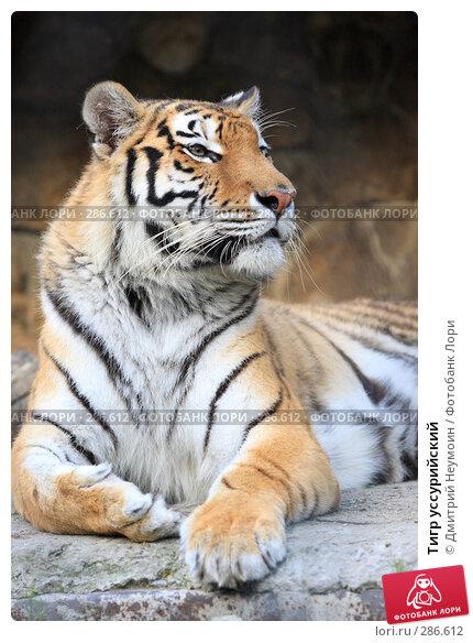 Тигр уссурийский, эксклюзивное фото № 286612, снято 26 апреля 2008 г. (c) Дмитрий Неумоин / Фотобанк Лори