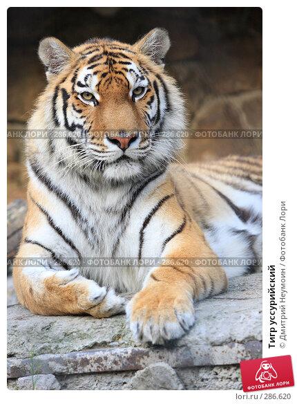 Купить «Тигр уссурийский», эксклюзивное фото № 286620, снято 26 апреля 2008 г. (c) Дмитрий Нейман / Фотобанк Лори