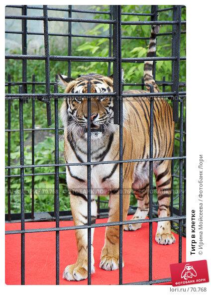 Тигр в клетке, эксклюзивное фото № 70768, снято 10 июня 2007 г. (c) Ирина Мойсеева / Фотобанк Лори