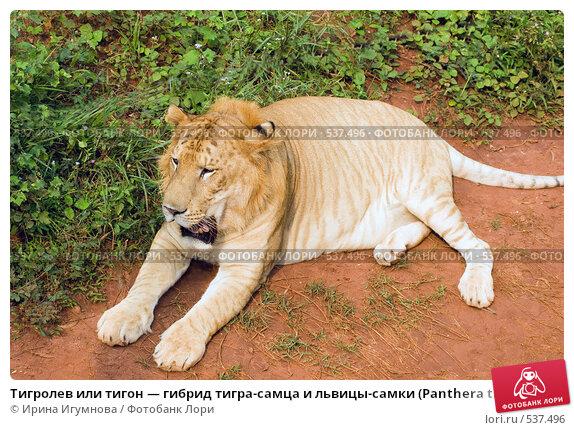 Тигролев или тигон — гибрид тигра-самца и львицы-самки (Panthera tigreo), фото № 537496, снято 13 сентября 2008 г. (c) Ирина Игумнова / Фотобанк Лори