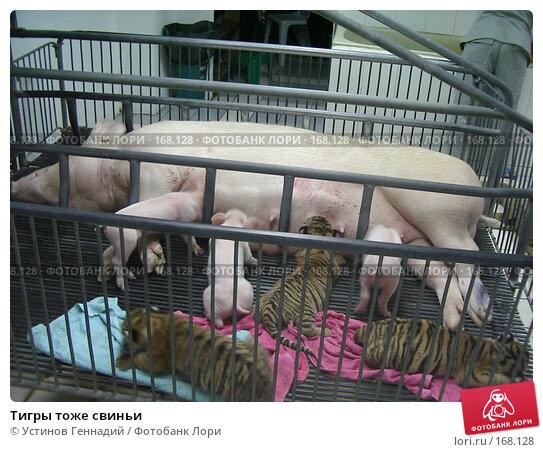 Тигры тоже свиньи, фото № 168128, снято 20 декабря 2003 г. (c) Устинов Геннадий / Фотобанк Лори