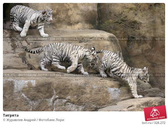 Тигрята, эксклюзивное фото № 328272, снято 18 июня 2008 г. (c) Журавлев Андрей / Фотобанк Лори