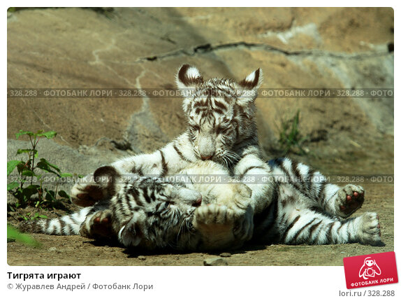 Тигрята играют, эксклюзивное фото № 328288, снято 18 июня 2008 г. (c) Журавлев Андрей / Фотобанк Лори