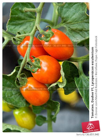 Tomaten, Dasher F1, Lycopersicon esculentum. Стоковое фото, фотограф Zoonar.com/Manfred Ruckszio / age Fotostock / Фотобанк Лори