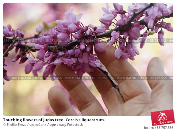 Touching flowers of Judas tree. Cercis siliquastrum. Стоковое фото, фотограф Emilio Ereza / easy Fotostock / Фотобанк Лори