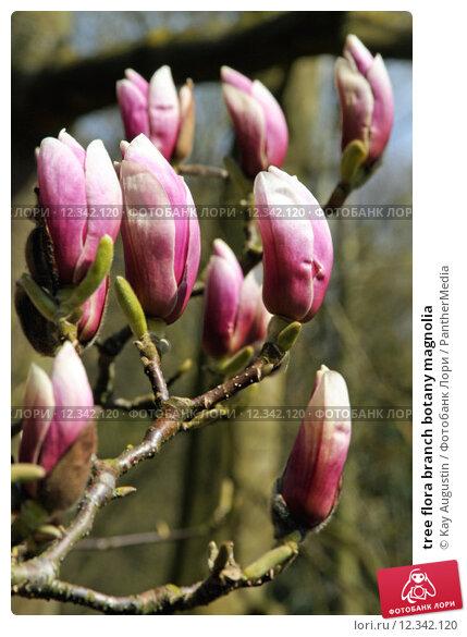 Купить «tree flora branch botany magnolia», фото № 12342120, снято 16 июля 2019 г. (c) PantherMedia / Фотобанк Лори