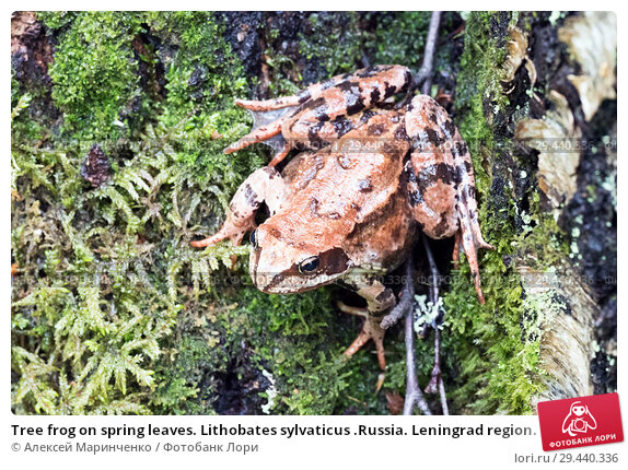 Купить «Tree frog on spring leaves. Lithobates sylvaticus .Russia. Leningrad region.», фото № 29440336, снято 3 июля 2018 г. (c) Алексей Маринченко / Фотобанк Лори