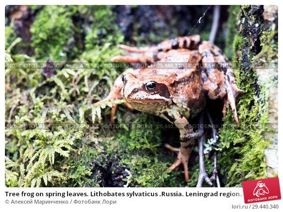 Купить «Tree frog on spring leaves. Lithobates sylvaticus .Russia. Leningrad region.», фото № 29440340, снято 3 июля 2018 г. (c) Алексей Маринченко / Фотобанк Лори