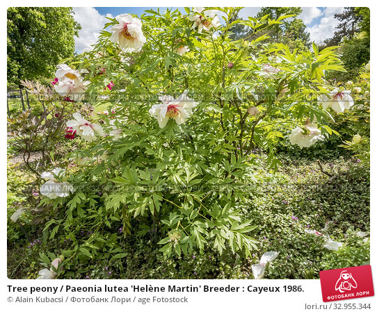Tree peony / Paeonia lutea 'Helène Martin' Breeder : Cayeux 1986. Стоковое фото, фотограф Alain Kubacsi / age Fotostock / Фотобанк Лори