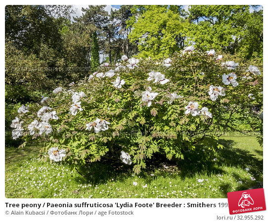 Tree peony / Paeonia suffruticosa 'Lydia Foote' Breeder : Smithers 1992. Стоковое фото, фотограф Alain Kubacsi / age Fotostock / Фотобанк Лори