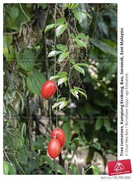 Tree tomatoes, Kampung Krokong, Bau, Sarawak, East Malaysia. Стоковое фото, фотограф Chua Wee Boo / age Fotostock / Фотобанк Лори