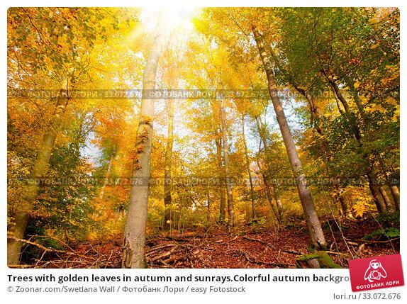 Купить «Trees with golden leaves in autumn and sunrays.Colorful autumn background.», фото № 33072676, снято 5 апреля 2020 г. (c) easy Fotostock / Фотобанк Лори