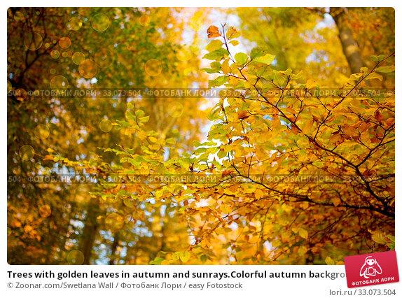 Купить «Trees with golden leaves in autumn and sunrays.Colorful autumn background.», фото № 33073504, снято 5 апреля 2020 г. (c) easy Fotostock / Фотобанк Лори