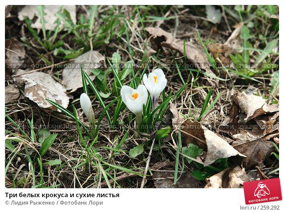 Три белых крокуса и сухие листья, фото № 259292, снято 11 апреля 2008 г. (c) Лидия Рыженко / Фотобанк Лори