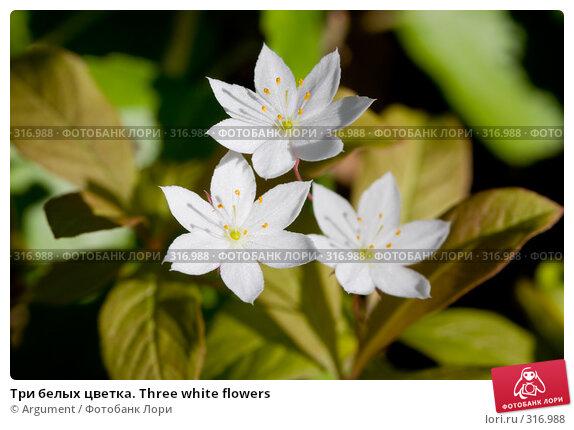 Купить «Три белых цветка. Three white flowers», фото № 316988, снято 4 июня 2008 г. (c) Argument / Фотобанк Лори