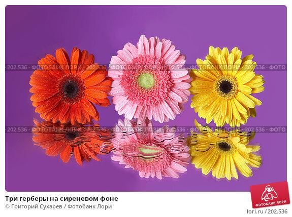 Три герберы на сиреневом фоне, фото № 202536, снято 27 ноября 2006 г. (c) Григорий Сухарев / Фотобанк Лори