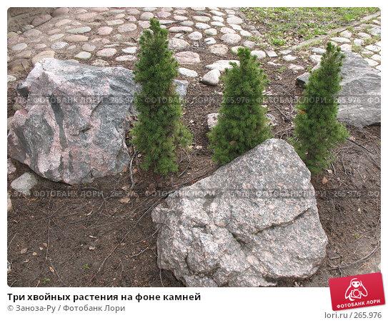 Три хвойных растения на фоне камней, фото № 265976, снято 19 апреля 2008 г. (c) Заноза-Ру / Фотобанк Лори