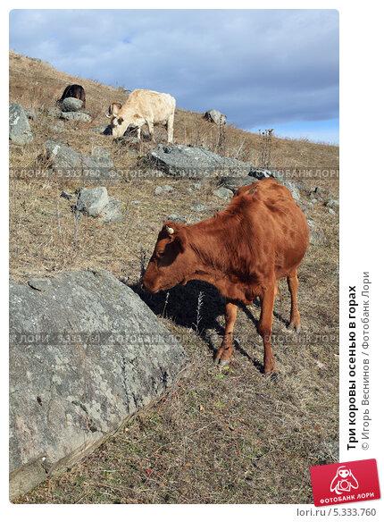 Купить «Три коровы осенью в горах», фото № 5333760, снято 22 ноября 2013 г. (c) Игорь Веснинов / Фотобанк Лори