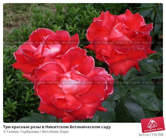 Три красные розы в Никитском Ботаническом саду, фото № 119700, снято 22 июня 2005 г. (c) Галина  Горбунова / Фотобанк Лори