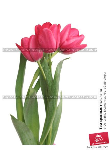 Три красных тюльпана, фото № 208772, снято 15 января 2008 г. (c) Останина Екатерина / Фотобанк Лори