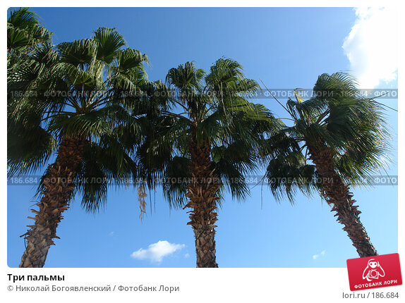 Три пальмы, фото № 186684, снято 18 ноября 2007 г. (c) Николай Богоявленский / Фотобанк Лори